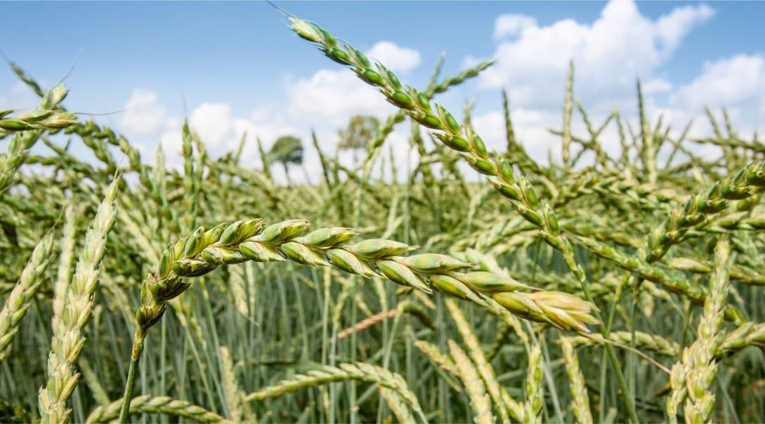 Pšenica špaldová