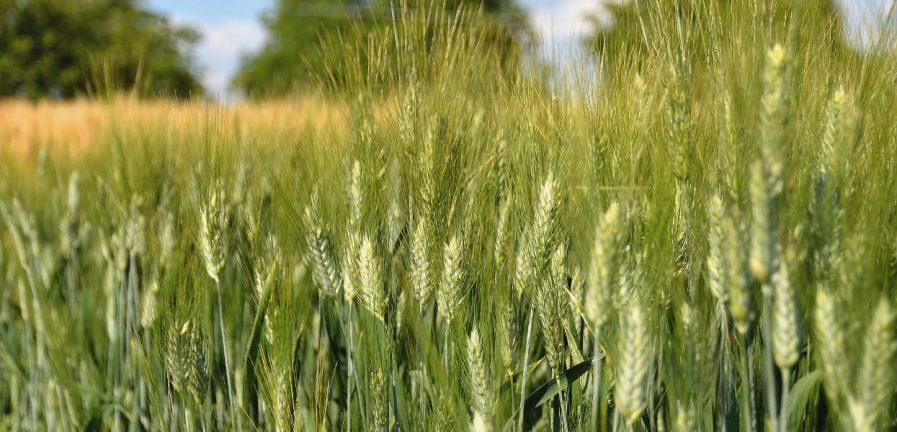 Pšenica tvrdá jarná
