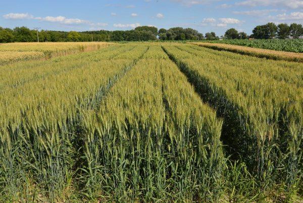 Pšenica jarná