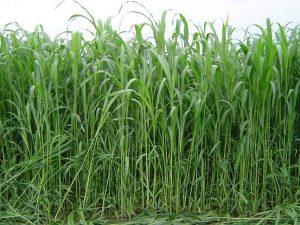 Sudánska tráva