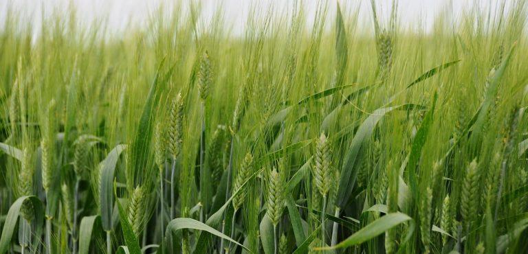Pšenica tvrdá ozimná