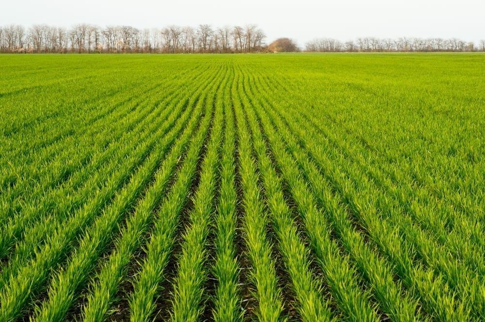 Podceniť jesennú ochranu obilnín sa nevypláca