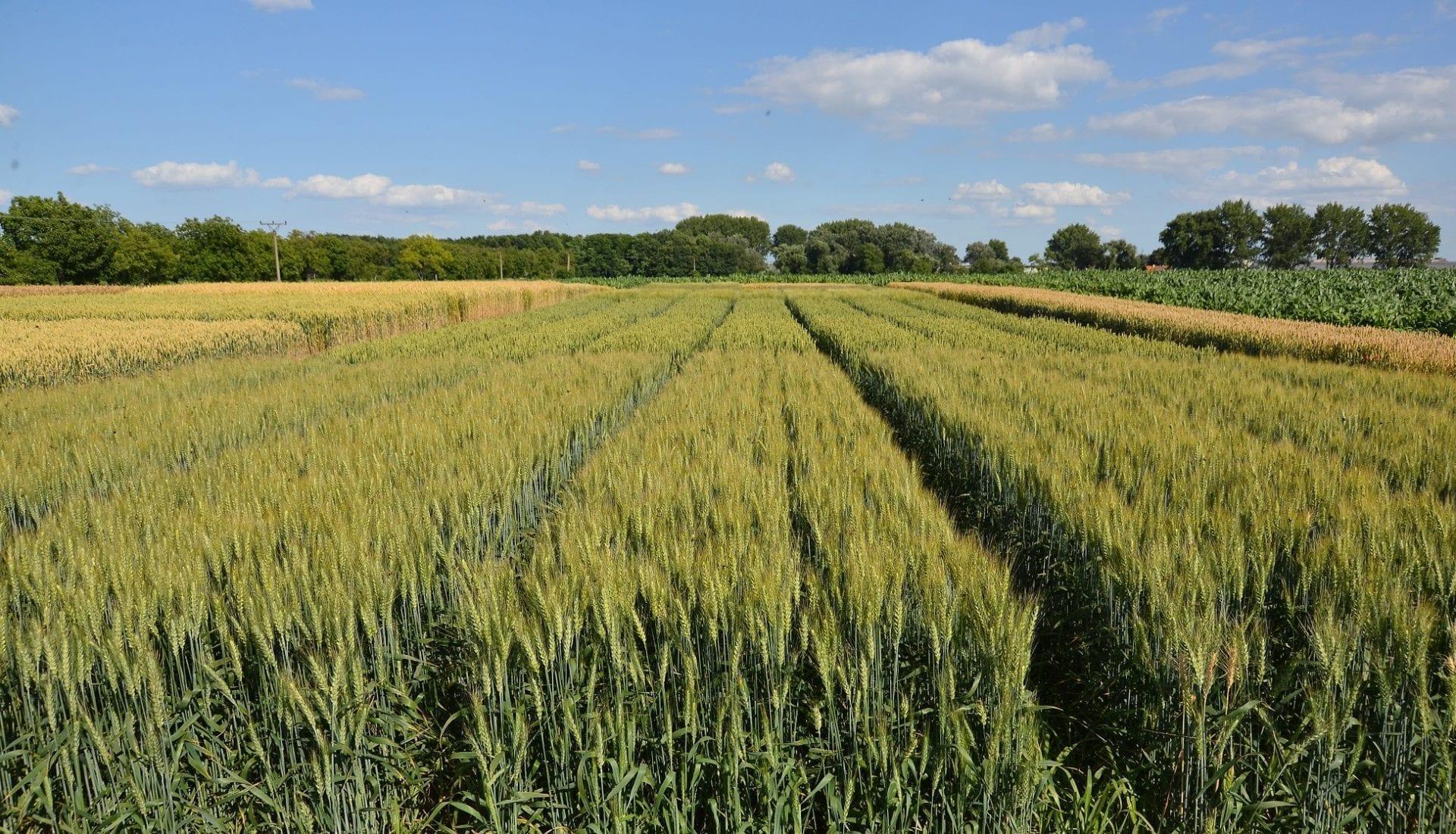 Dostaňte zjarnej pšenice jej maximum