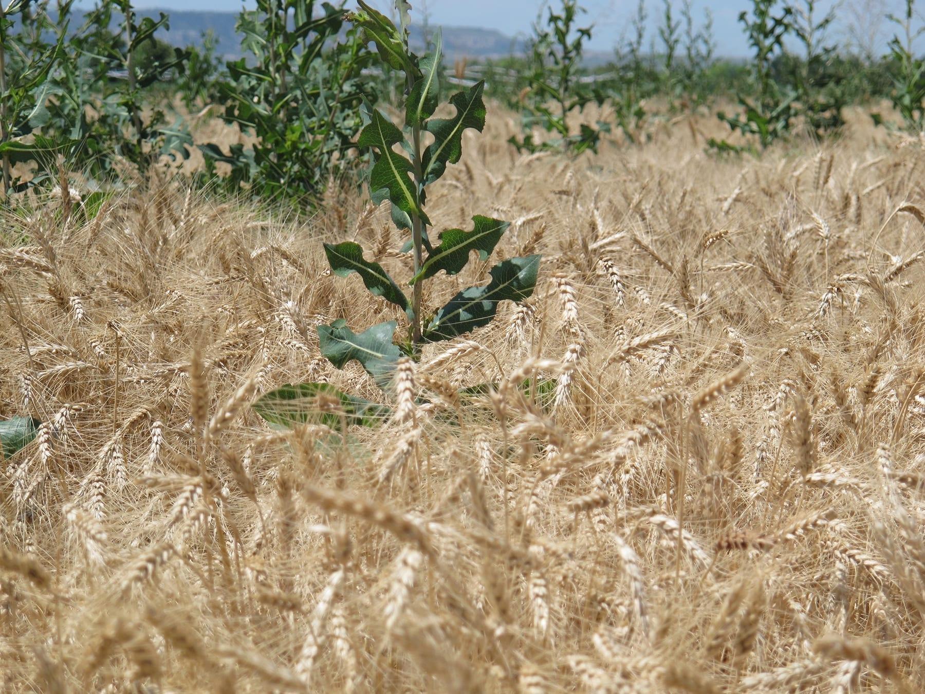 Aké je ideálne zastúpenie pšenice v osevnom postupe?