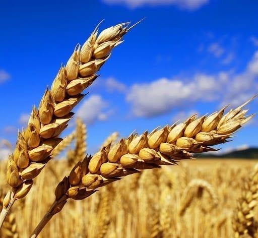Hrach s pšenicou dokážu divy