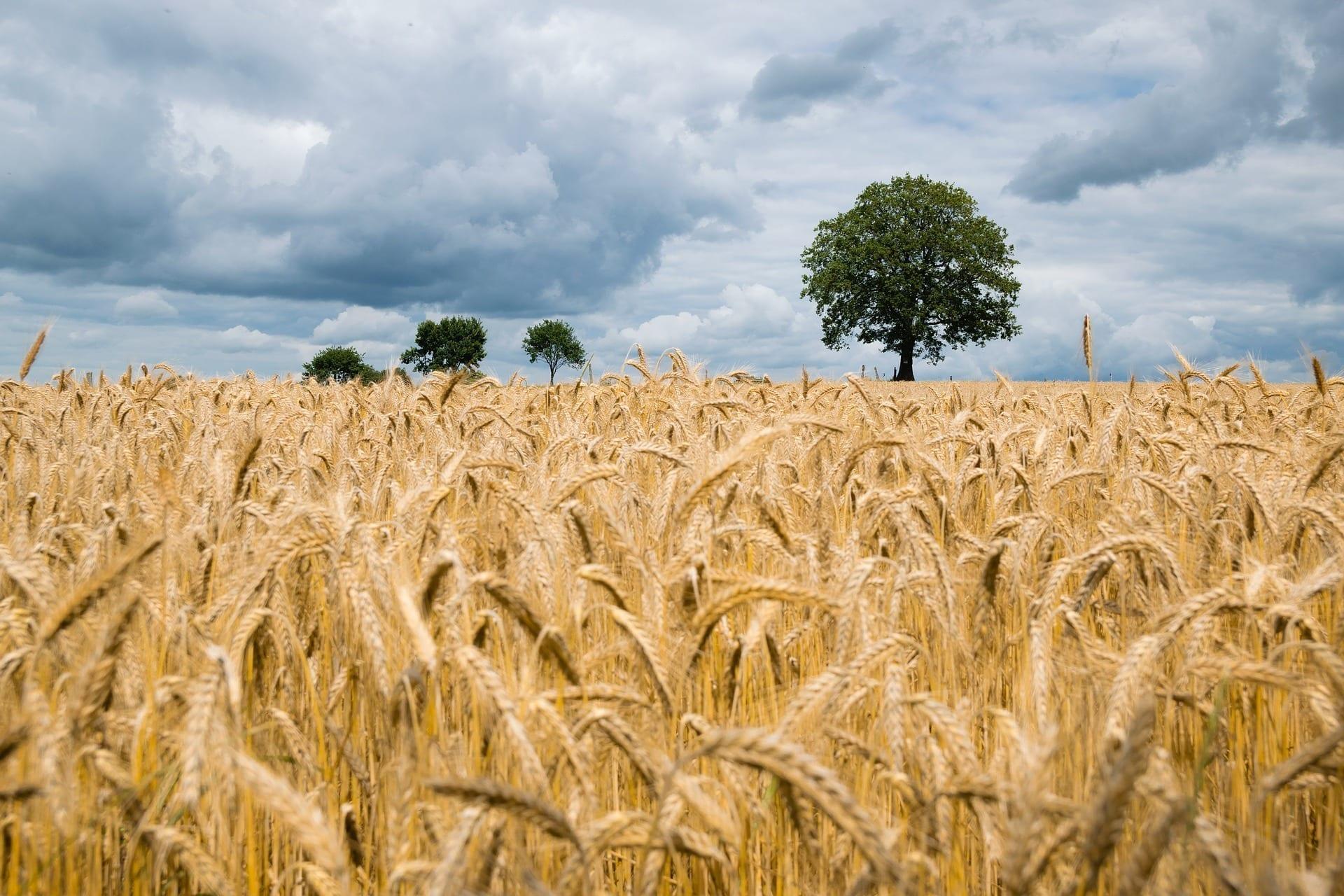 Vplyv zmeny klímy na úrodu a bielkovinovú skladbu pšenice